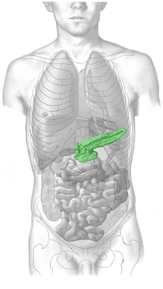 Фото где находится поджелудочная железа